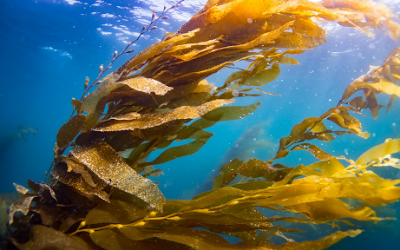 Sea otters might save west coast kelp forests from total collapse–BUT THERE's a catch