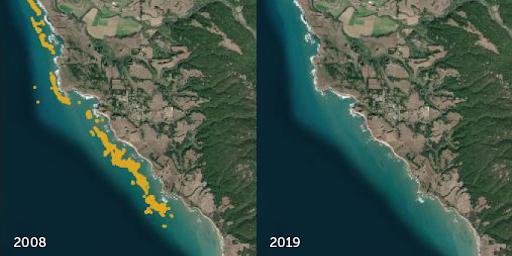 Images in 2008 (left) and 2019 (right) reveal losses in underwater kelp forest cover (yellow) along the California coast.