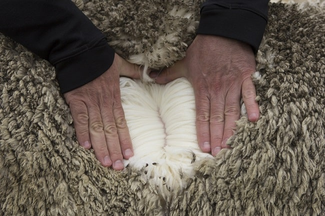 sheep inc white wool