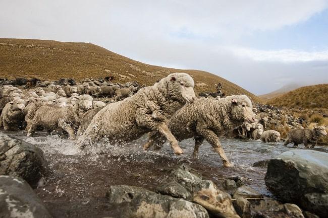 sheep inc flock of sheep going through water